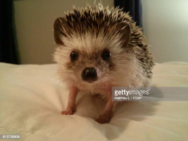 Baby hedgehog on bed