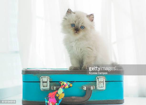 Baby Himalayan cat on a vintage suitcase