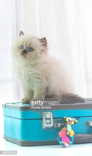 Baby Himalayan cat sitting on a vintage suitcase