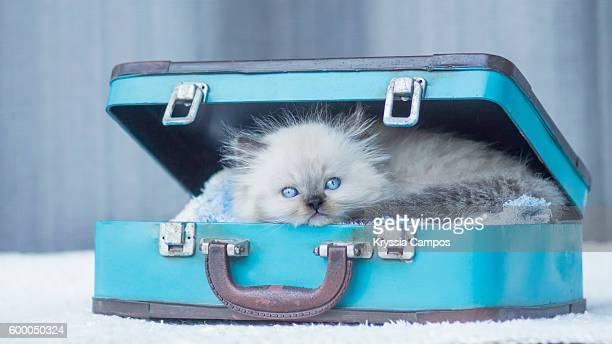 Baby Himalayan cat sleeping in a vintage suitcase