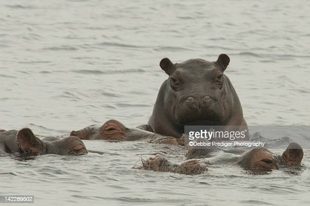 Baby Hippo climbing on adults backs