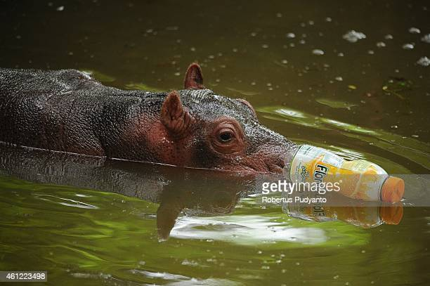 Baby Hippo playes with the plastic bottle in the water at Surabaya Zoo on January 9, 2015 in Surabaya, Indonesia. In the midst of prolonged internal...