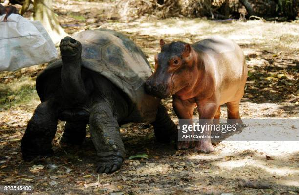 A baby Hippo that survived the Tsunami waves on the Kenyan coast snuggles close to its new best friend a giant century old tortoise in an animal...