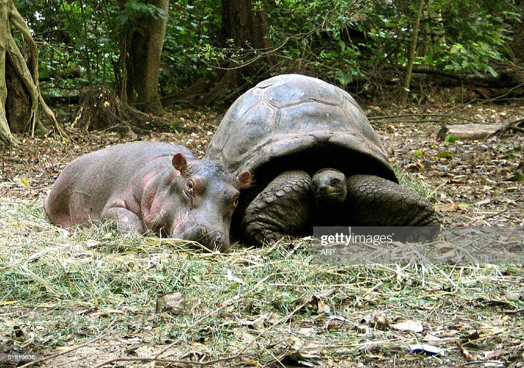 A baby hippopotamus that survived the tsumani waves on the Kenyan coast snuggles up to its new best friend, a giant century old tortoise in an animal facility in Mombasa, 06 January 2005. The hippopotamus, nicknamed Owen and weighing about 300 kilograms (650 pounds), was swept down Sabaki River into the Indian Ocean, then forced back to shore when tsumani waves struck the Kenyan coast on December 26, before wildlife rangers rescued him.