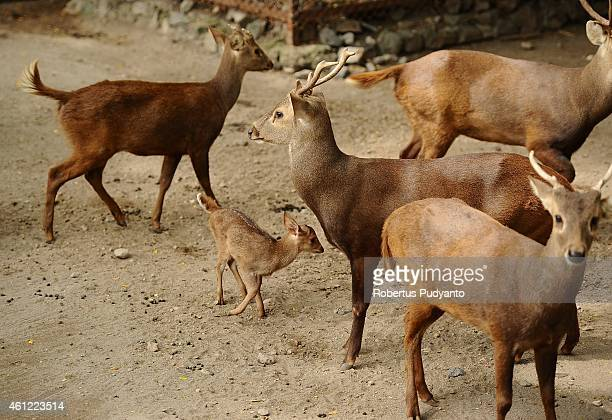 A baby Hog Bawean deer playes with her family at Surabaya Zoo on January 9 2015 in Surabaya Indonesia In the midst of prolonged internal management...