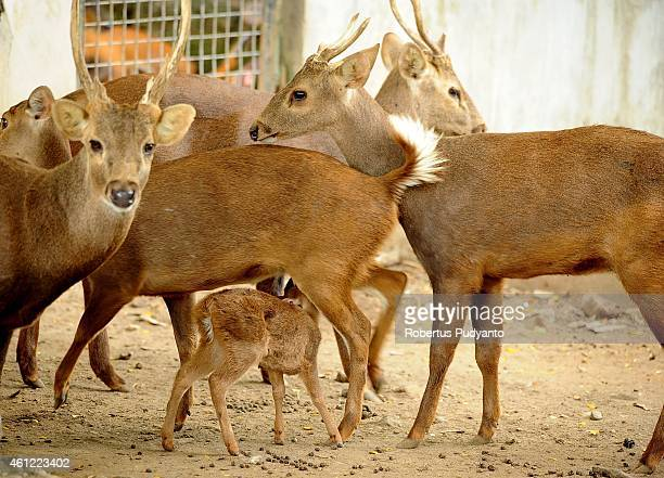 A baby Hog Bawean deer suckles her mother at Surabaya Zoo on January 9 2015 in Surabaya Indonesia In the midst of prolonged internal management...