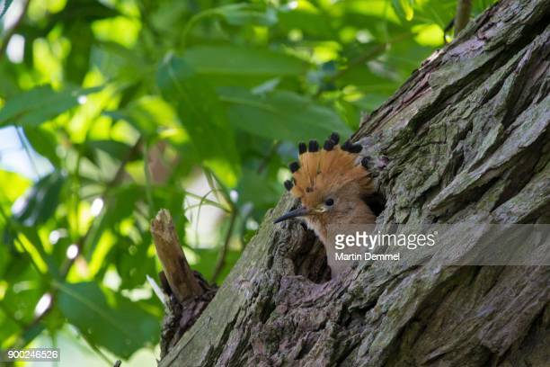 baby hoopoe (upupa epops), looking out of nest hole, saxony-anhalt, germany - saxony anhalt stock pictures, royalty-free photos & images