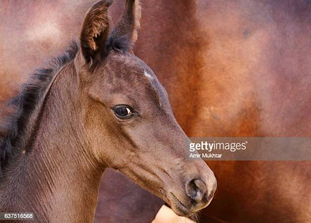Baby (Foal) Horse