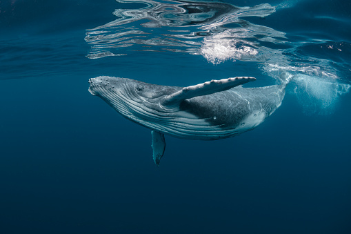 A Baby Humpback Whale Plays Near the Surface in Blue Water 1164887104