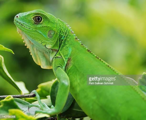Baby Iguana lying on tree