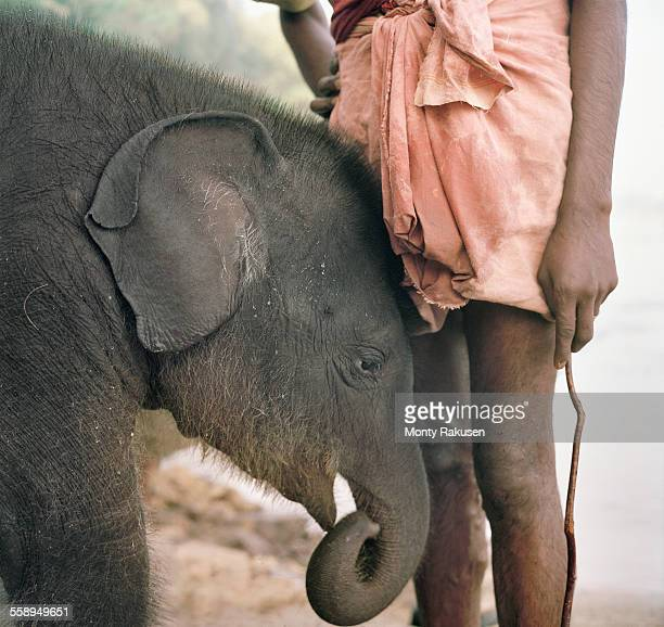 baby indian elephant, (3 months old) with carer, a mahout, kerala, india - kerala elephants stock pictures, royalty-free photos & images