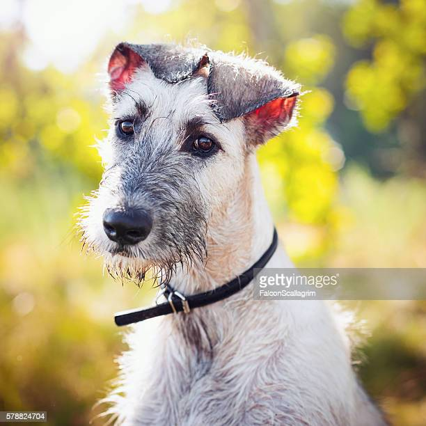 baby iw - irischer wolfshund stock-fotos und bilder