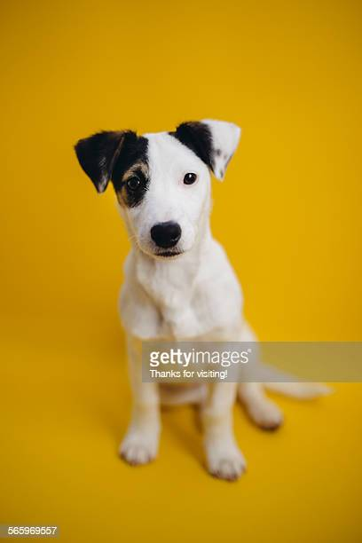 baby jack russell - jack russell terrier stock photos and pictures