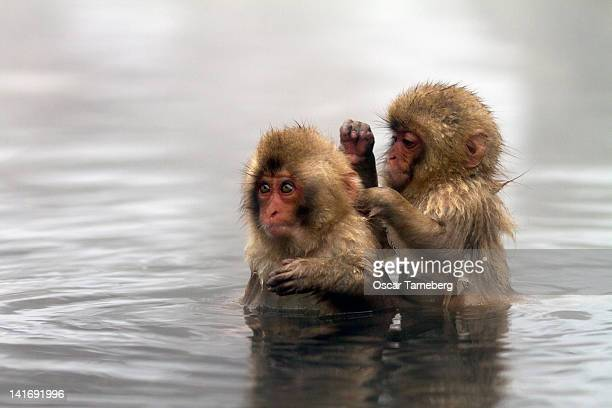 Baby Japanese macaques 'snow monkeys'