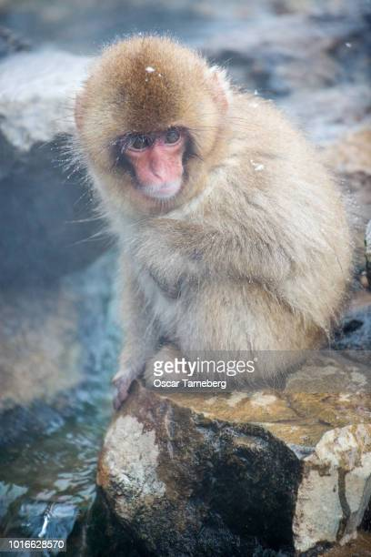Baby Japanese snow monkey