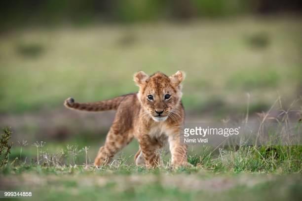baby king - lion - lion cub stock-fotos und bilder
