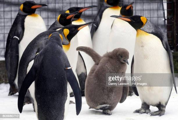 A baby king penguin enjoys the snowy weather at Edinburgh Zoo