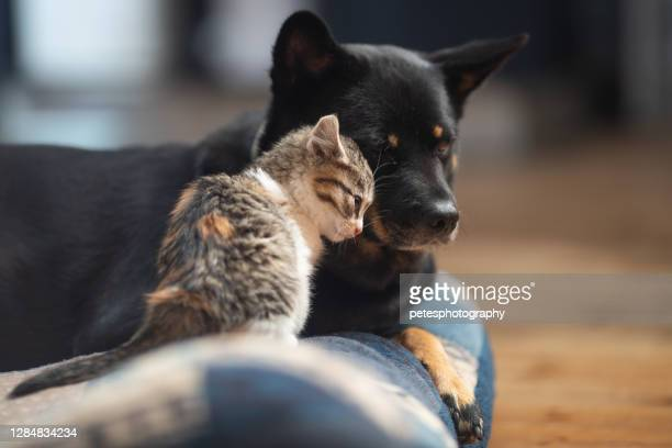 baby kitten loving on a dog - dog and cat stock pictures, royalty-free photos & images