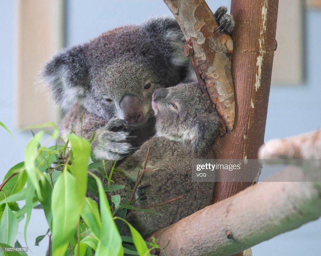 Baby Koala Meets Public In Nanjing