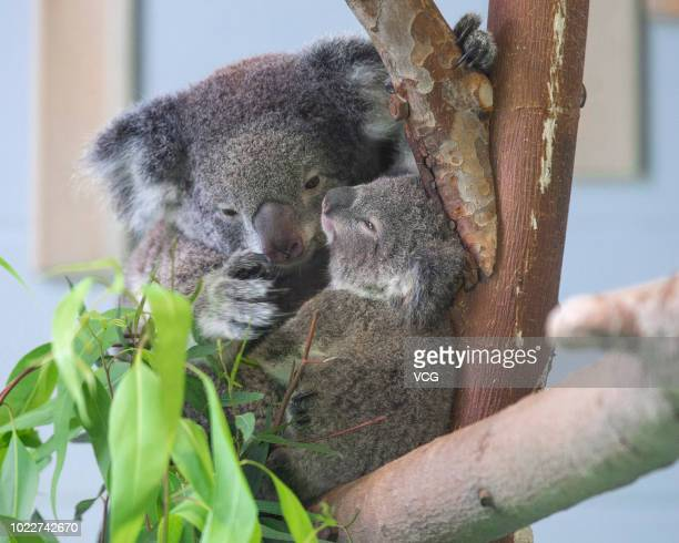 A baby koala and her mother sit on a tree branch at Nanjing Hongshan Forest Zoo on August 20 2018 in Nanjing Jiangsu Province of China The baby koala...
