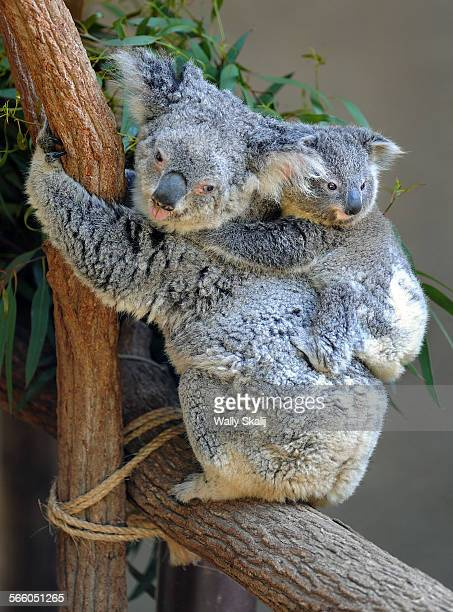 Baby koala clings to her mother's back at the Los Angeles Zoo in Los Angeles. The baby koala was born on 6th.