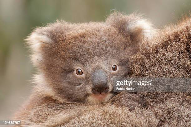 baby koala - marsupial stock pictures, royalty-free photos & images