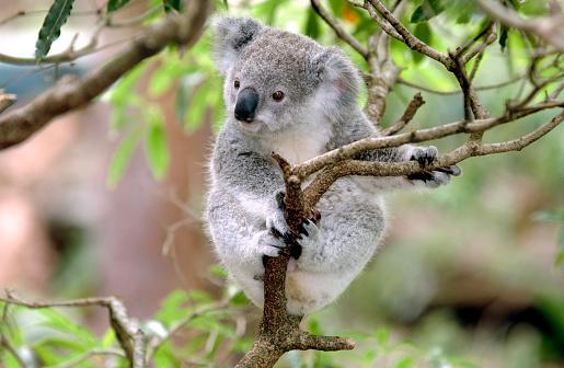 Baby Koala 173552701