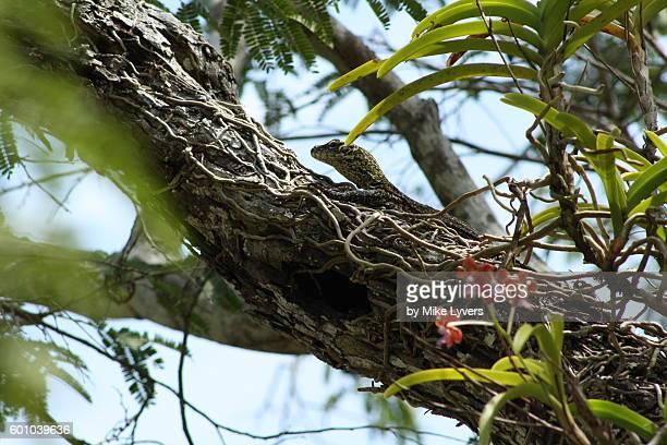 baby komodo dragon hiding up a tree - komodo dragon stock pictures, royalty-free photos & images
