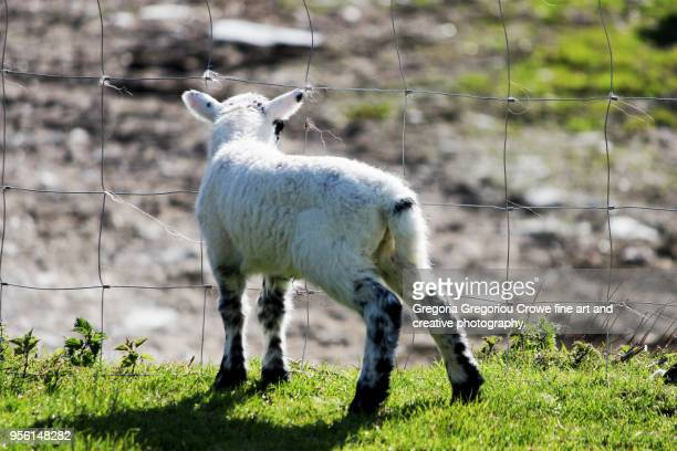 baby lamb at farm - gregoria gregoriou crowe fine art and creative photography. stock pictures, royalty-free photos & images