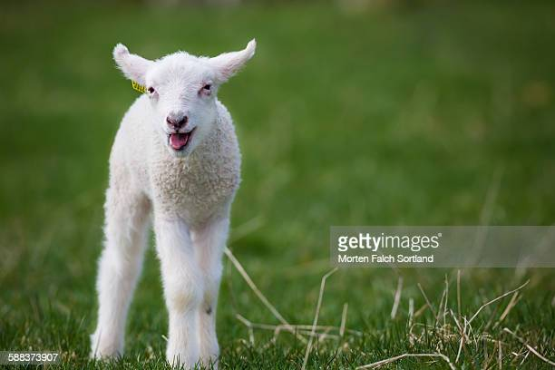 Baby lamb came with Spring