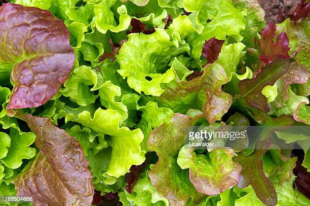 baby leaf salad - leaf lettuce stock pictures, royalty-free photos & images