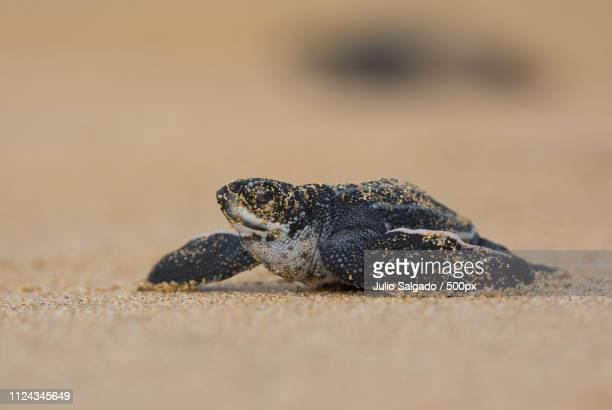 baby leather back sea turtle - leatherback turtle stock pictures, royalty-free photos & images