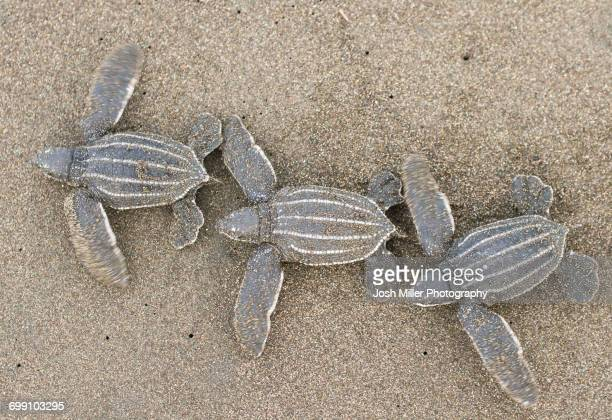 baby leatherback sea turtles - leatherback turtle stock pictures, royalty-free photos & images