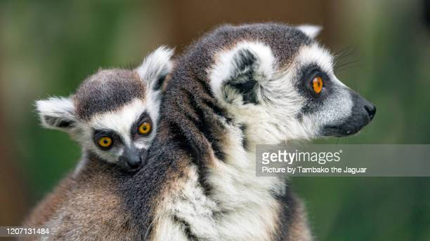 baby lemur on his mother - young animal stock pictures, royalty-free photos & images