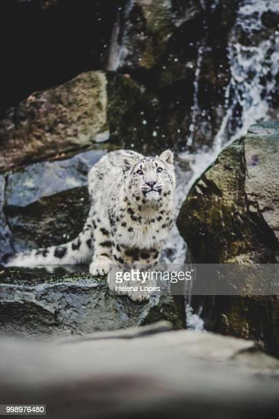 baby leo - leopardo delle nevi foto e immagini stock