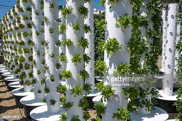 Baby lettuce is grown in hydroponic towers at the Urban Farms located in the downtown Funk Zone on August 26 2015 in Santa Barbara California Because...