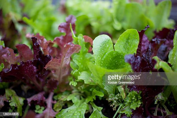 baby lettuces - lettuce stock pictures, royalty-free photos & images