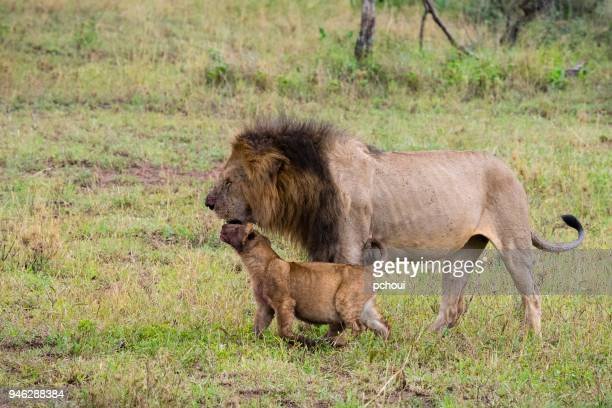 Baby lion kissing father, Africa