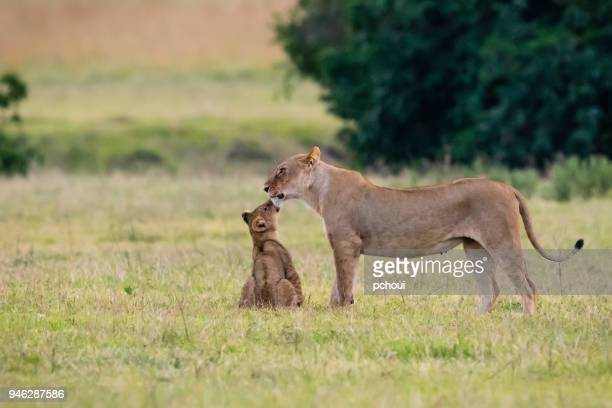 baby lion kissing mother, africa - animal family stock pictures, royalty-free photos & images