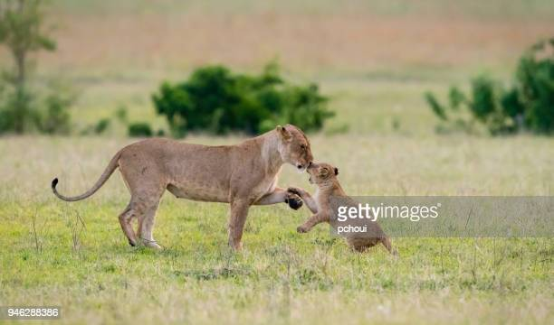 Baby lion kissing mother and playing in the morning , Africa