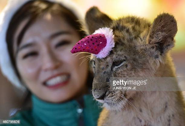 A baby lion named Dominjun wears a Santa Claus hat during a Christmas event at the Everland amusement park in Yongin south of Seoul on December 23...