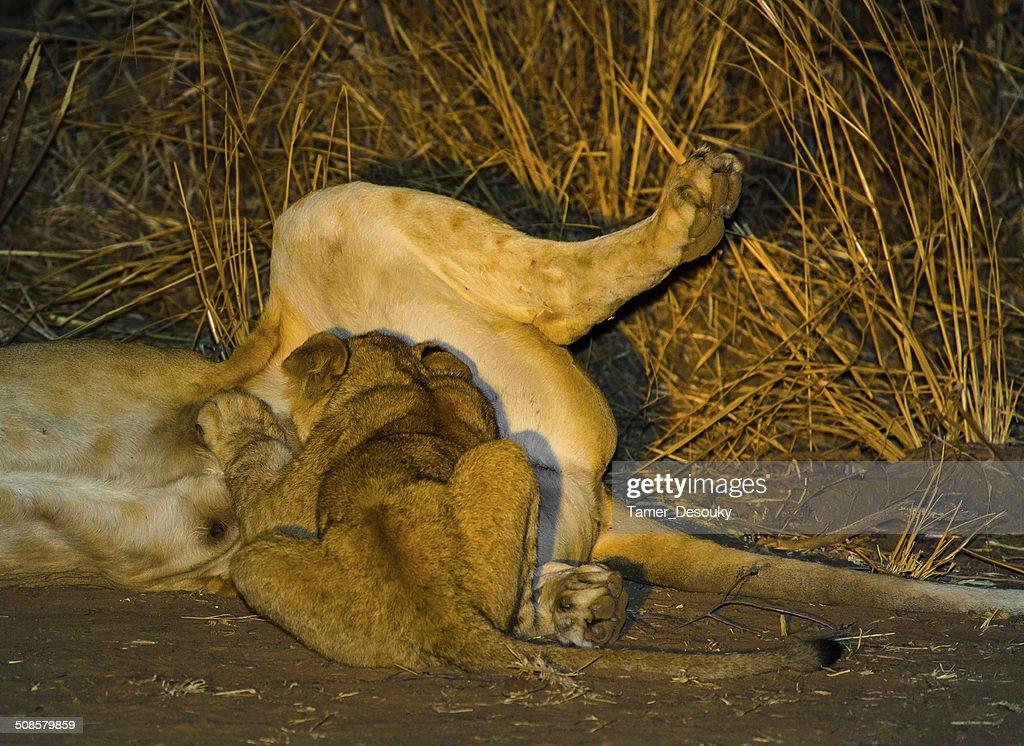 baby lion sucking milk : Stock Photo