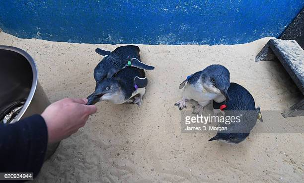 Baby Little Blue penguins at Melbourne Zoo on November 4 2016 in Melbourne Australia This has been a very successful breeding season at Melbourne...