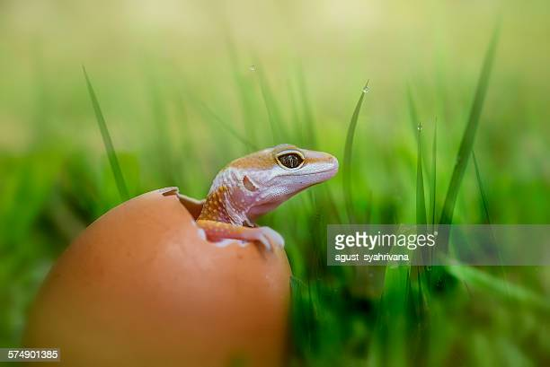 Baby lizard hatching from egg
