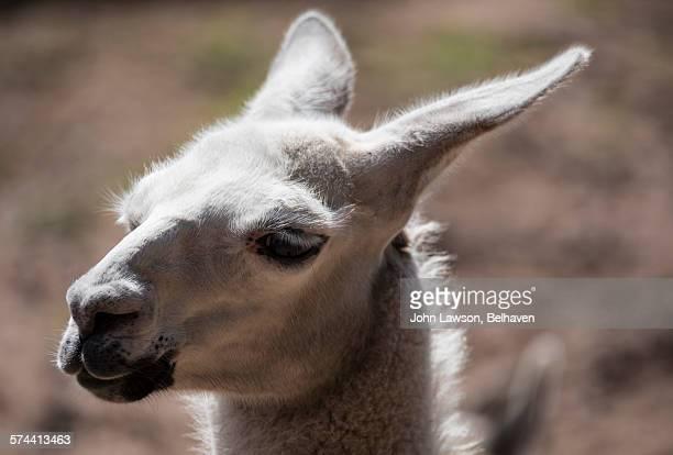 Baby llama headshot