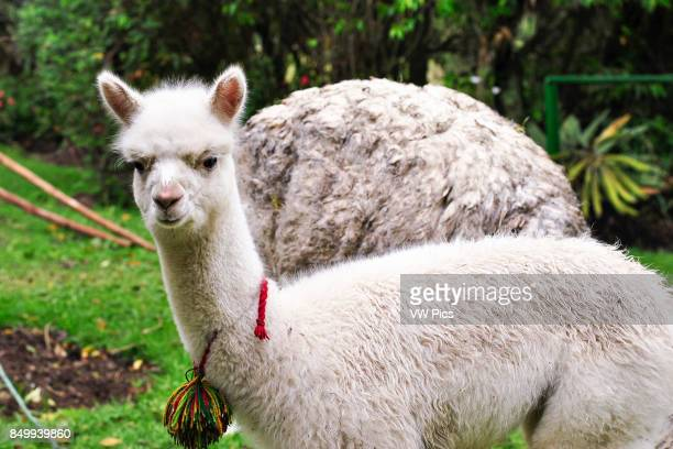 Baby llama in a garden. El Tambo. IngapircA Ecuador.
