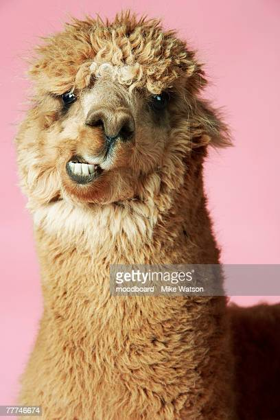 baby llama - fury stock pictures, royalty-free photos & images