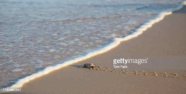 baby loggerhead sea turtle hatchling - dermoquélidos fotografías e imágenes de stock