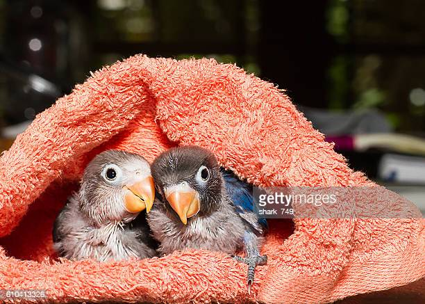 Baby lovebirds in cloth nest on table in house