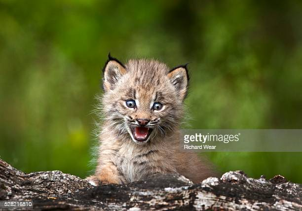 baby lynx (lynx canadensis) looking over a fallen tree - canadian lynx stock pictures, royalty-free photos & images